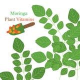 Moringa plant vitamins. Illustration Moringa plant gardening vitamins concept white color background stock illustration