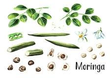 Moringa rośliny set Akwareli ręka rysująca ilustracja, odizolowywająca na białym tle zdjęcia stock