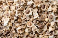 Moringa semeia seco Foto de Stock