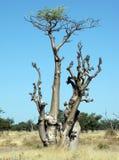 moringa sprokieswoud结构树 库存照片