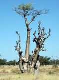 moringa sprokieswoud δέντρο Στοκ Εικόνες
