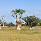 Moringa tree. In Etosha national park in Namibia royalty free stock photos