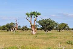 Moringa Tree In African Savanna,Namibia,Etosha Par Stock Images