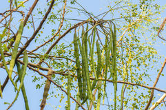 Moringa trees Stock Image