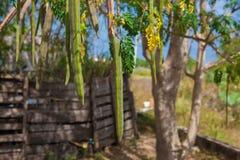 Moringa Royalty Free Stock Photo