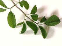 Moringga-Blätter Stockfotos