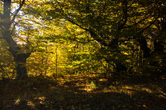 Morinng sunlight through yellow autumn leaves at forest, Zeljin mountain Royalty Free Stock Photos