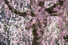 Weeping cherry treeShidarezakura at Morioka castle ruins parkIwate Park,Iwate,Tohoku,Japan. Morioka Castle Ruins ParkIwate Park situated in center of Morioka stock photography