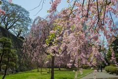 Weeping cherry treeShidarezakura and the stone walls at Morioka castle ruins parkIwate Park,Iwate,Tohoku,Japan. Morioka Castle Ruins ParkIwate Park situated in stock photography