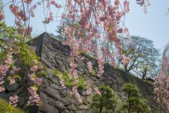 Weeping cherry treeShidarezakura and the stone walls at Morioka castle ruins parkIwate Park,Iwate,Tohoku,Japan. Morioka Castle Ruins ParkIwate Park situated in stock image