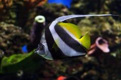 Morisk förebildfisk Royaltyfria Foton