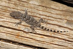 Morisk gecko - Tarentola mauritanica Arkivbilder