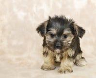 甜小的Morkie小狗 库存图片