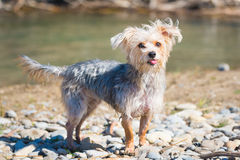 Morkie Stock Photo