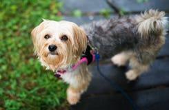 Morkie-Hund, der entlang der Kamera anstarrt Lizenzfreie Stockfotografie