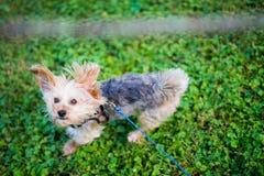 Morkie-Hund, der springt, um Stock in der Luft auf warmem Sunny Day zu fangen Lizenzfreies Stockfoto