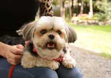 Morkie Lap Dog. A beautiful and well groomed Morkie dog rests in her loyal companions lap while sitting outside Royalty Free Stock Photos