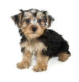 Morkie Puppy Stock Photos