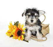 Morkie Puppy Royalty Free Stock Photo