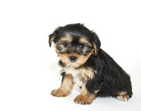 Morkie Puppy Stock Photography