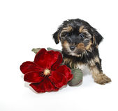 Morkie Puppy Royalty Free Stock Images