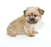 Morkie Puppy Royalty Free Stock Photos
