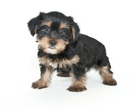 Morkie Puppy Stock Photo