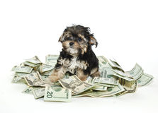 Morkie Puppy With a Pile of Money Stock Image