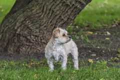 Morkie Puppy Royalty Free Stock Image