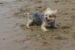 Morkie som spelar på stranden - lagerföra fotoet royaltyfri fotografi