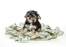 Morkie Welpe mit einem Stapel des Geldes Stockbild