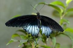 mormon бабочки большой Стоковое Изображение