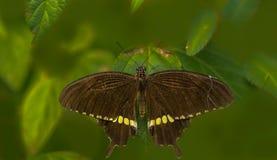Общяя бабочка mormon Стоковые Фотографии RF