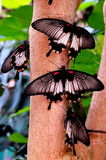Mormon Butterflies Stock Photo