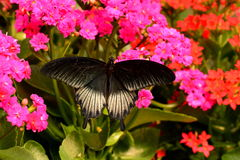 Mormon Butterfly feeding in the gardens. Stock Image