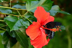 Mormon butterfly on a hibiscus bloom Royalty Free Stock Photos