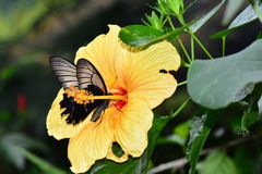 Mormon butterfly on a hibiscus bloom Stock Images