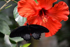 Mormon butterfly on a hibiscus bloom Royalty Free Stock Photo
