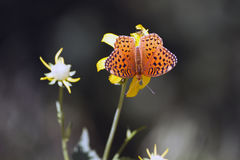 Mormon Fritillary butterfly, Speyeria mormonia Stock Photo