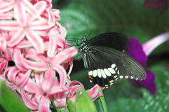 Mormon sailing ship (papilio polytes) on pink flowers Royalty Free Stock Photos