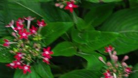 Mormone comune della farfalla stock footage