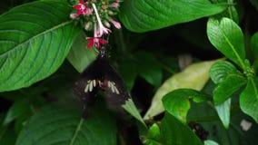 Mormone comune della farfalla archivi video