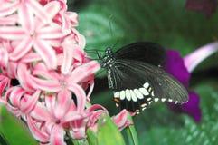 Mormonische Segelnlieferung (papilio polytes) auf rosafarbenen Blumen Lizenzfreie Stockfotos