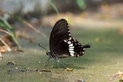 Mormoonse Vlinder Stock Afbeeldingen