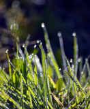 Mornig dew  on a grass blades just after sunrise Stock Photo