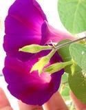 Morning glowry purple Royalty Free Stock Photos