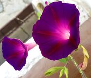 Morning glowry purple. These are mornig glowry purple flowers fully blooming Royalty Free Stock Photos