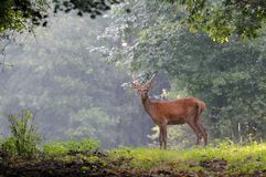 In The Morning. The photo was taken on an young red deer stag, in Hungary, early in the morning Royalty Free Stock Image