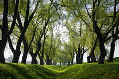 Morning. Early morning, rows of trees, shades of trees Stock Images