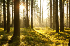 Morning in autumn forest Royalty Free Stock Image